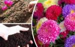 Как сажать астры семенами в открытый грунт