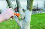 Когда нужно белить садовые деревья