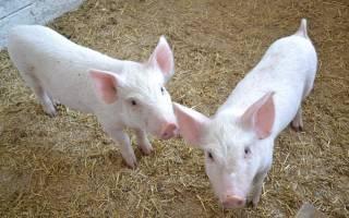 Сколько стоит вырастить свинью