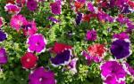Можно ли выращивать петунию как комнатное растение