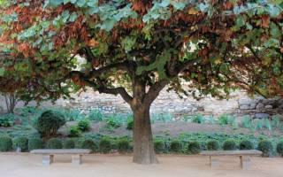 Стручковое дерево полезные свойства