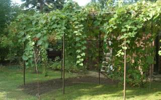 Какие сорта винограда лучше сажать в подмосковье