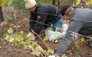 Какую минусовую температуру выдерживает виноград осенью