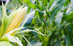 Как сажать кукурузу на даче