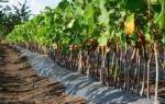 Когда лучше садить виноград весной или осенью