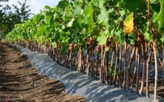 Когда лучше высаживать виноград осенью или весной