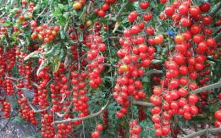 Как вырастить помидоры черри на балконе