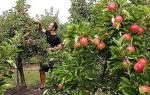 Вырастить яблоню из семечка дома