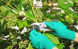 Когда лучше обрезать виноград осенью или весной