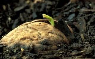Как прорастить грецкий орех для посадки
