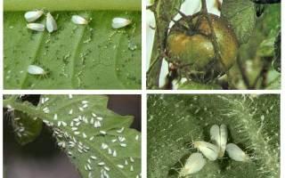 Как уничтожить белокрылку в теплице