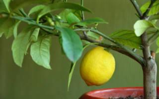 Чем подкормить лимон во время цветения