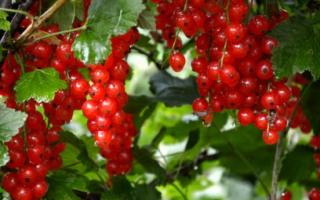 Как правильно обрезать красную смородину осенью