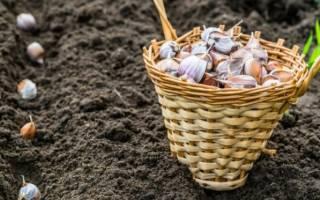 Как посадить чеснок осенью
