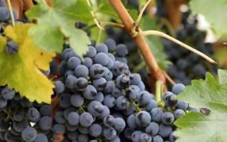 Когда надо обрезать виноград осенью