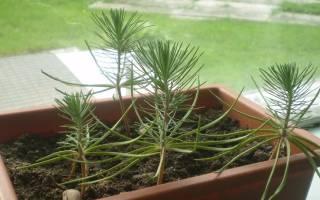 Как из шишки ели вырастить дерево