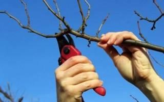Можно ли обрезать абрикос осенью
