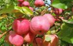 Когда сажать яблони осенью в подмосковье
