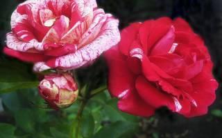 Канадская роза посадка и уход