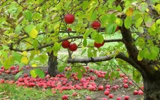 Подкормка садовых деревьев осенью