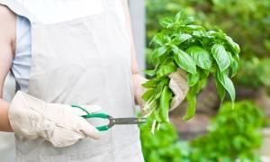 Чем можно заменить базилик в рецептах