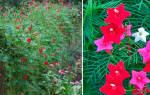Квамоклит кремлевская звезда цветок