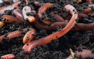 Как вырастить дождевых червей в домашних условиях