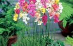 Цветок иксия посадка и уход