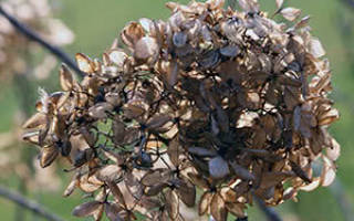 Посадка гортензии осенью в открытый грунт