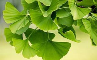 Гинкго билоба выращивание в подмосковье