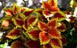 Цветок крапивка можно ли держать дома
