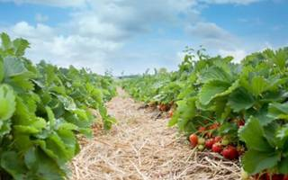 Как выращивать клубнику на даче