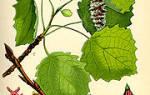 Осина это хвойное или лиственное дерево