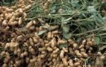 Можно ли вырастить арахис в подмосковье