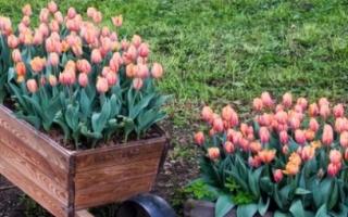 Можно ли садить тюльпаны весной
