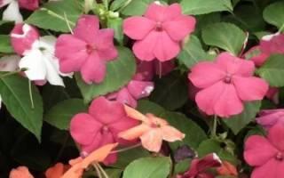 Почему не цветет бальзамин комнатный