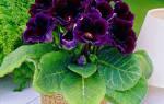 Цветы глоксиния посадка и уход