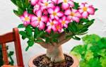 Цветок адениум уход в домашних условиях