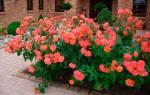 Соседство цветов совместимость на клумбе