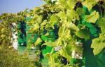 Как вырастить огурцы в бочке на даче