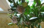 Вьющееся комнатное растение с восковыми листьями