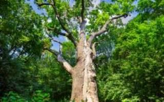Деревья долгожители названия и возраст