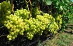 На какой год плодоносит виноград после посадки
