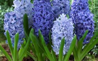 Цветок гиацинт как ухаживать посадка и уход