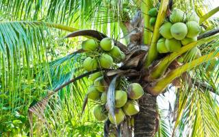 Какие плоды получают с дынного дерева