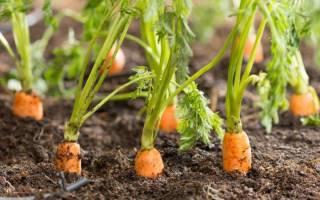 Способы посадки моркови без прореживания