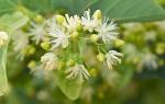 Цветы липы лечебные свойства и противопоказания