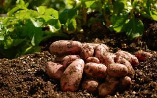 Что сажать после картофеля на следующий год