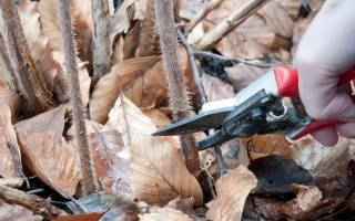 Когда лучше обрезать малину весной или осенью