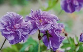 Герань гималайская садовая посадка и уход